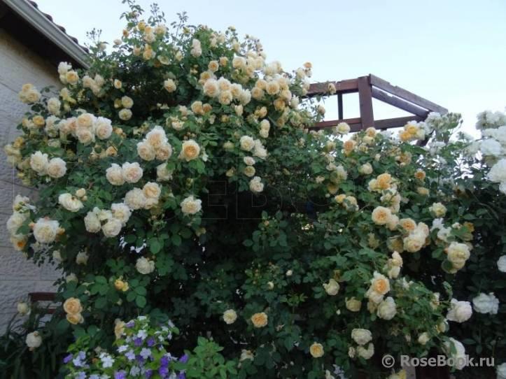 Колючая красавица в саду: описание и сорта парковой розы, выращивание и уход