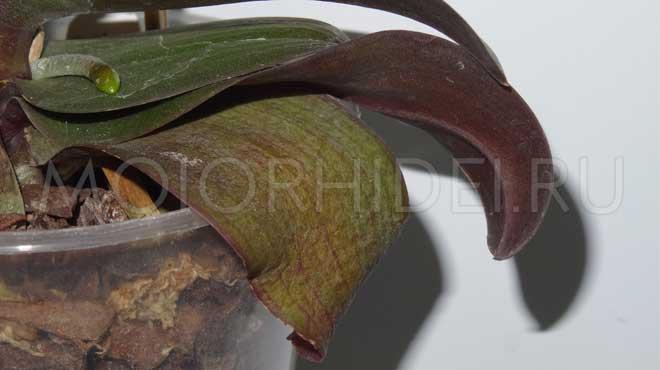 Узнайте, почему у орхидеи фаленопсис вянут листья и что делать?