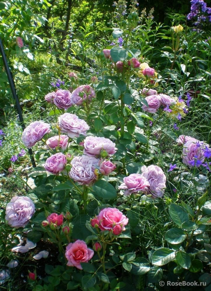 Роза бургунд (burgund) — характеристики и описание