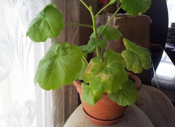 У герани скручиваются листья: почему они сворачиваются во внутрь, что делать, если возникла такая проблема у комнатного или садового цветка, и каковы ее причины?