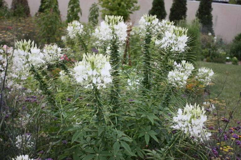 Цветы клеома: фото растения, выращивание из семян, посадка и уход