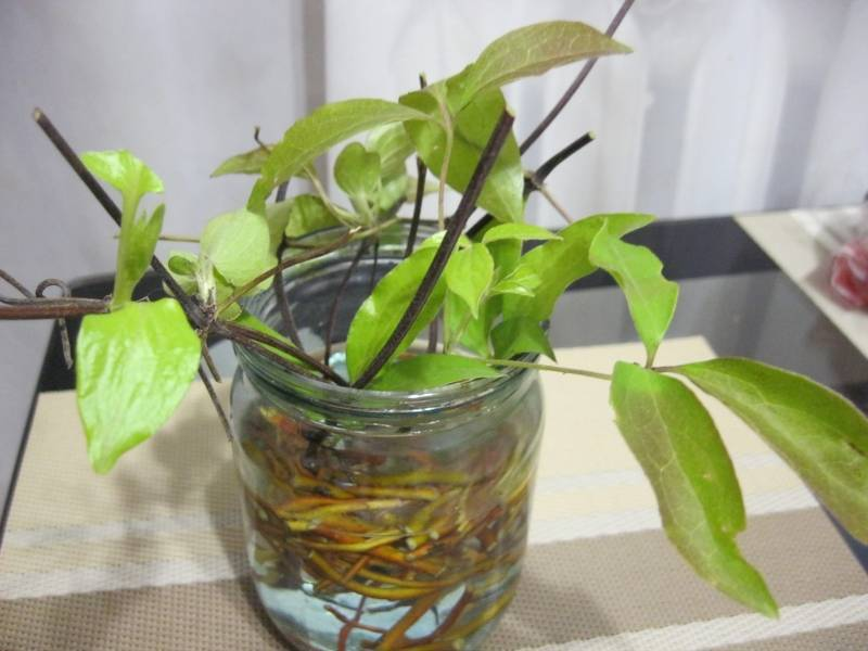 Как размножить клематис — размножение черенками летом