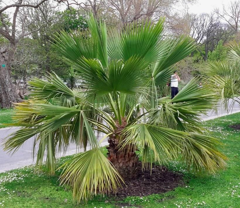 Пальма ливистона — как посадить и ухаживать дома