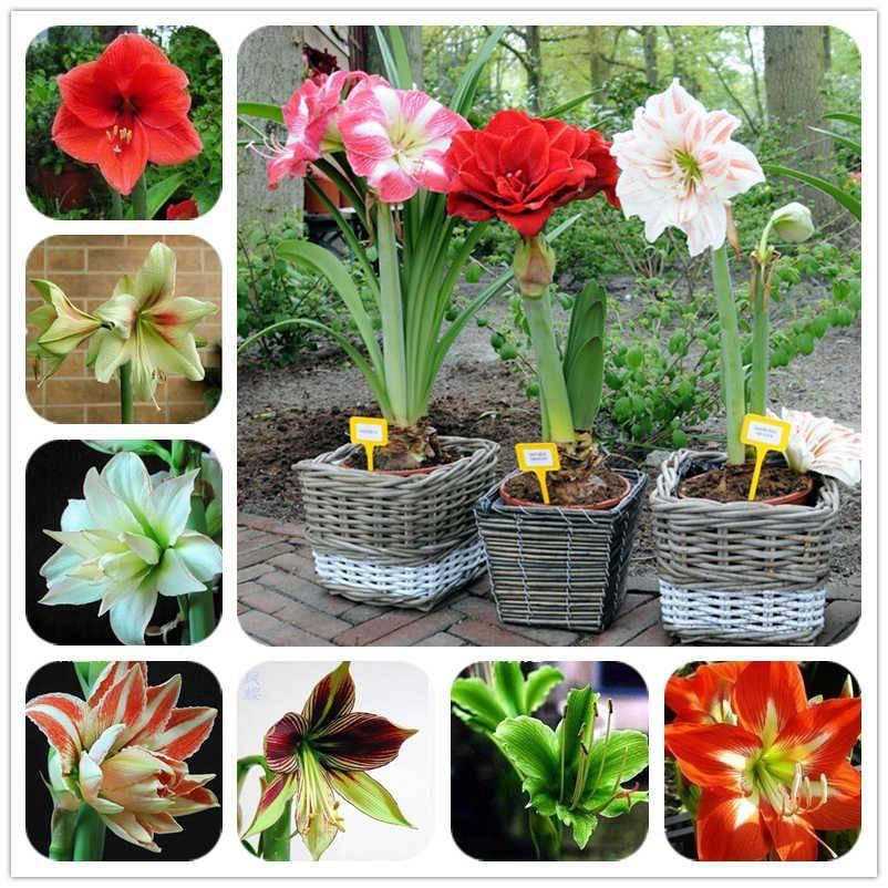 Выращивание амариллиса: посадка и особенности ухода в домашних условиях