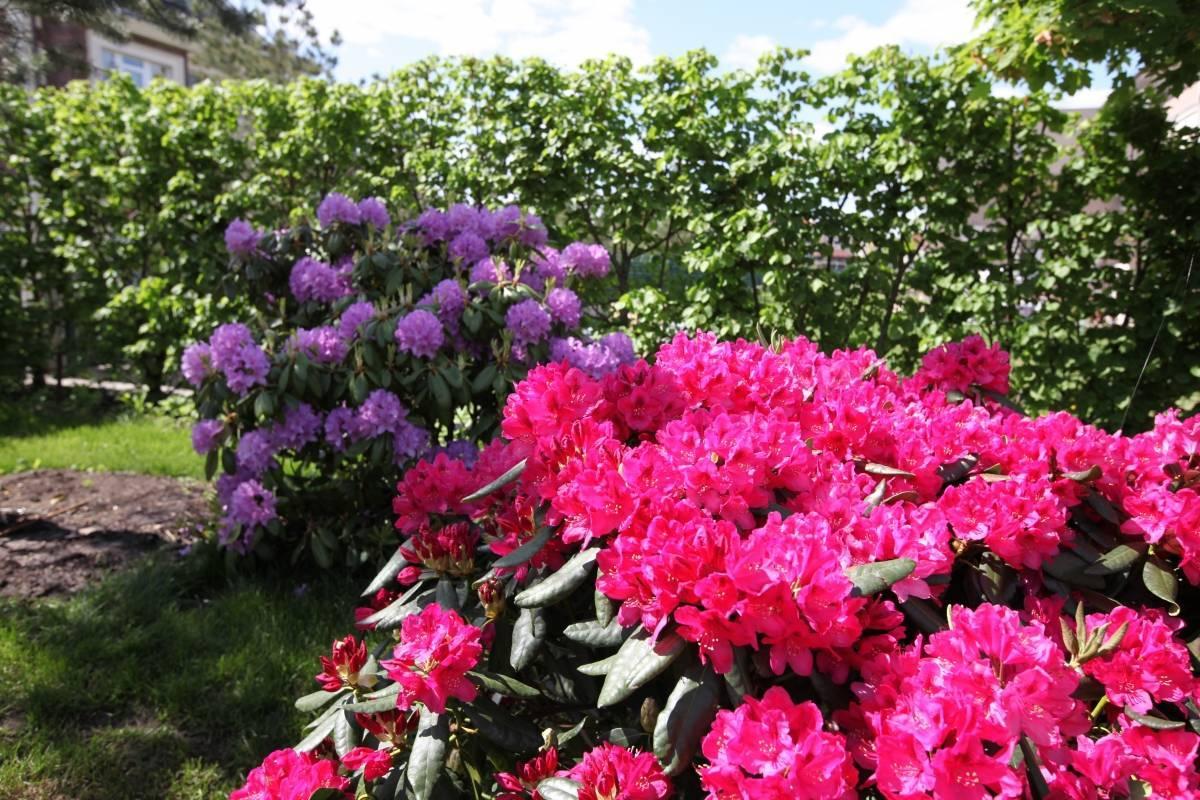 Азалия садовая: посадка, выращивание и уход в открытом грунте