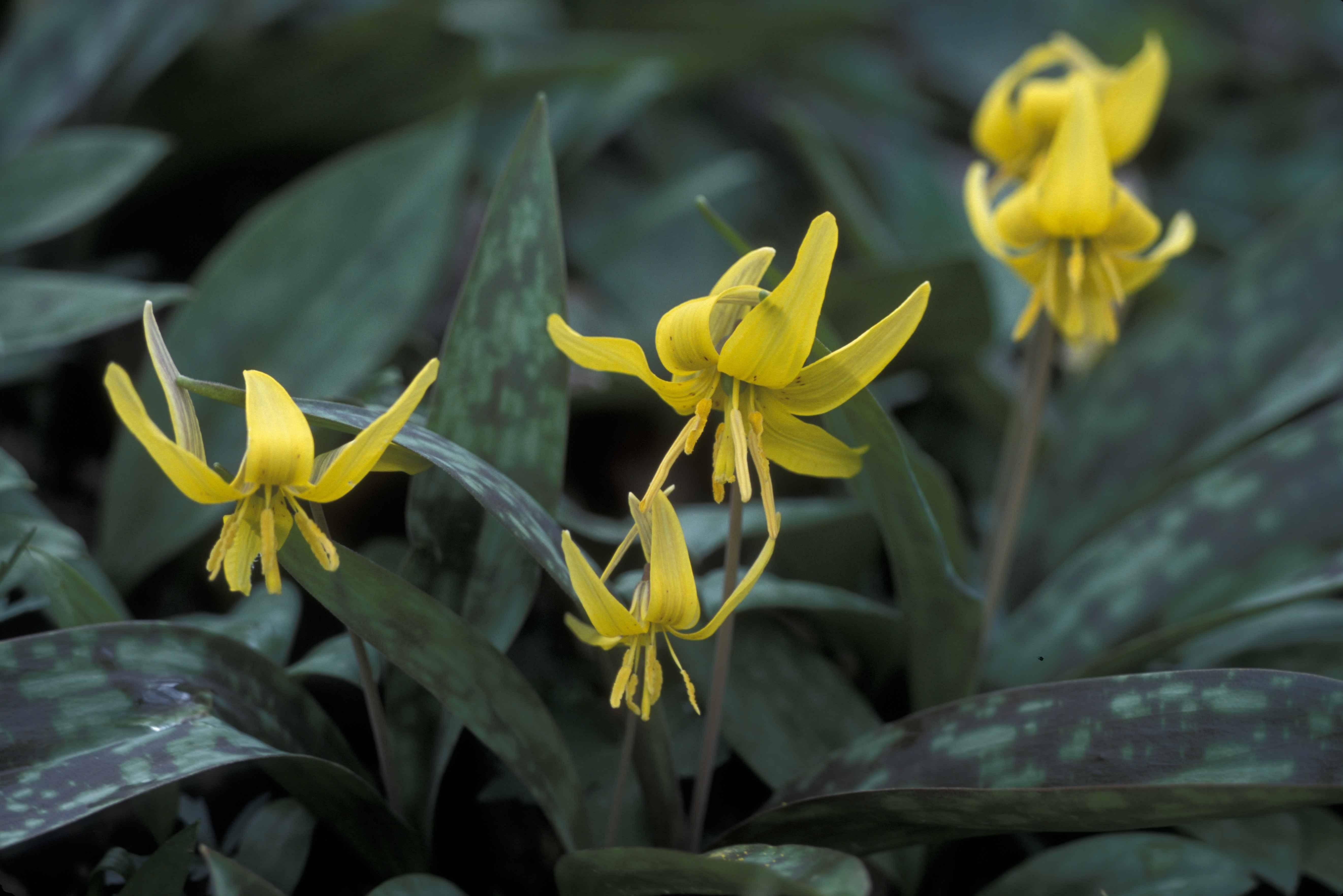 Цветок кандык или эритрониум посадка и уход в открытом грунте выращивание из семян фото видов