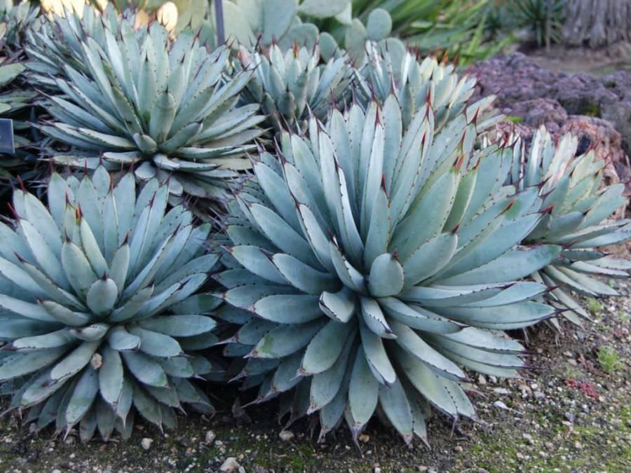 Выращиваем кактусы