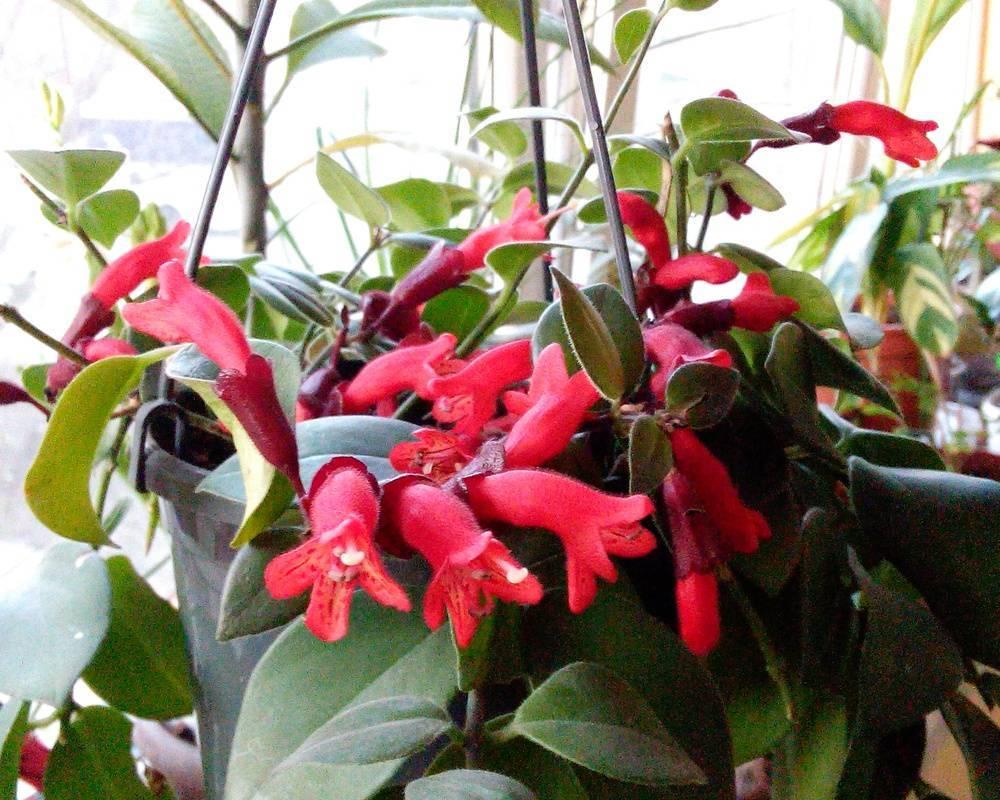 Эсхинантус — виды фото и названия красивого комнатного цветка