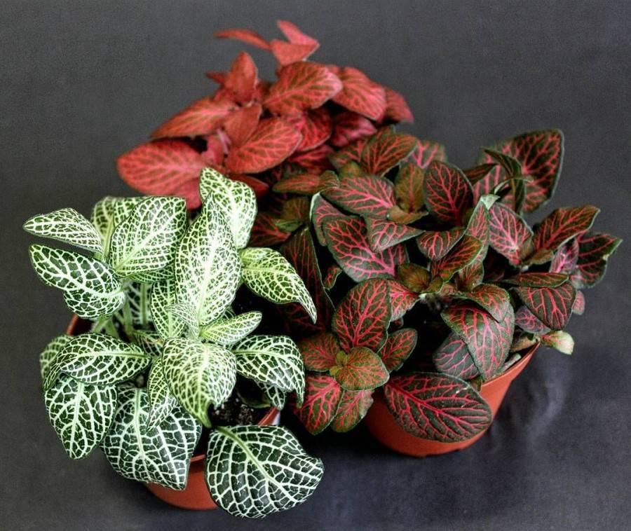 Как ухаживать загипоэстесом, чтобы сохранить пеструю окраску листьев