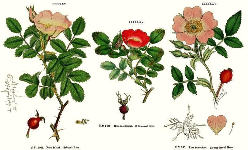Почему роза превращается в шиповник — как исправить