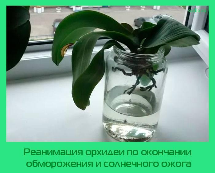 Как реанимировать орхидею: проблемы, спасение и восстановление цветка
