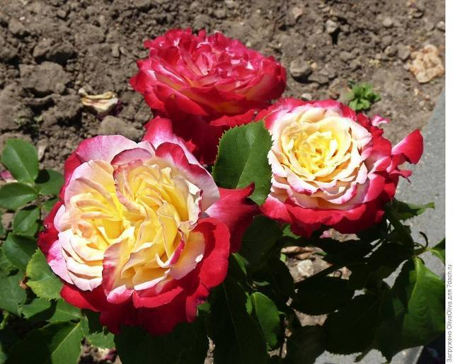 Описание роза дабл делайт