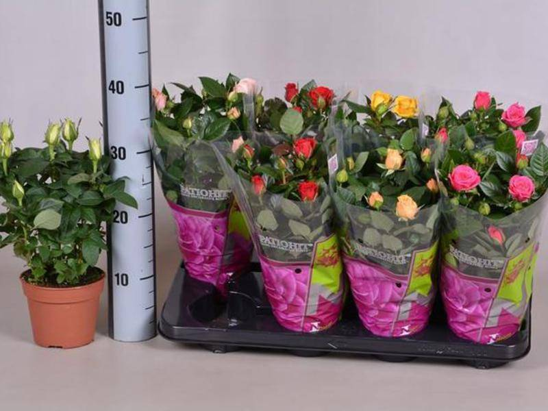 Какой уход нужен в домашних условиях для розы в горшке после покупки в магазине?