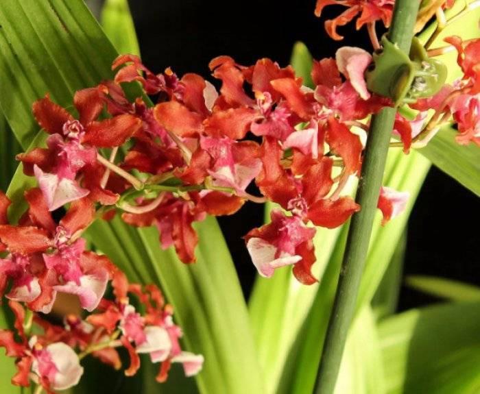 Онцидиум — виды орхидеи с фото и уход в домашних условиях (пересадка, полив, размножение, цветение)