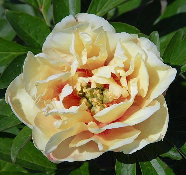 Пион Канари Бриллиант (Paeonia Canary Brilliants)