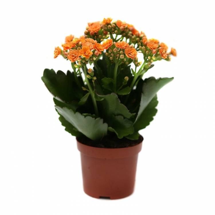 Каланхоэ дон серджио: как ухаживать за цветком, и виды растения с фото, выращивание культуры в домашних условиях, нюансы его размножения и пересадки