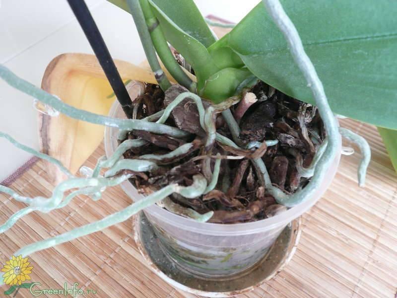 Почему у орхидеи фаленопсис вянут листья и что делать