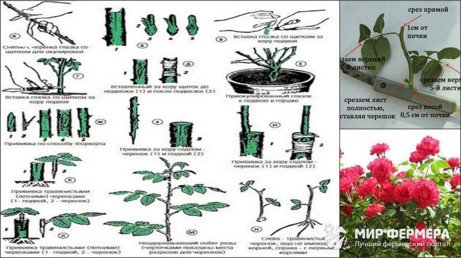 Условия ухода за примулой дома: способы размножения и посадки, выращивание из семян