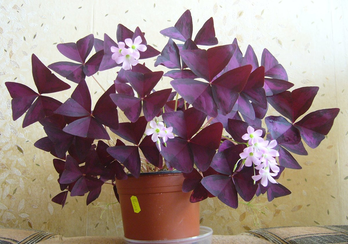 Кислица фиолетовая: уход в домашних условиях