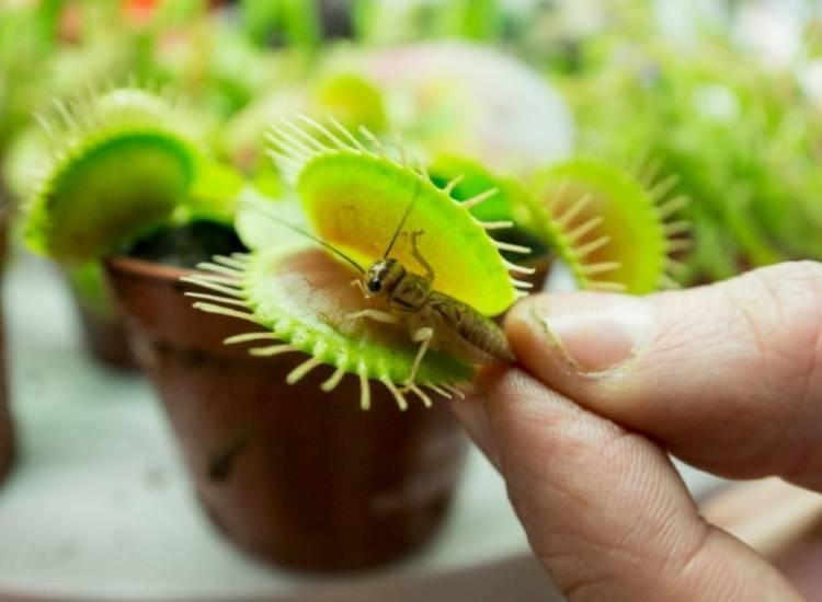 Посадка и выращивание венериной мухоловки в домашних условиях: как ухаживать