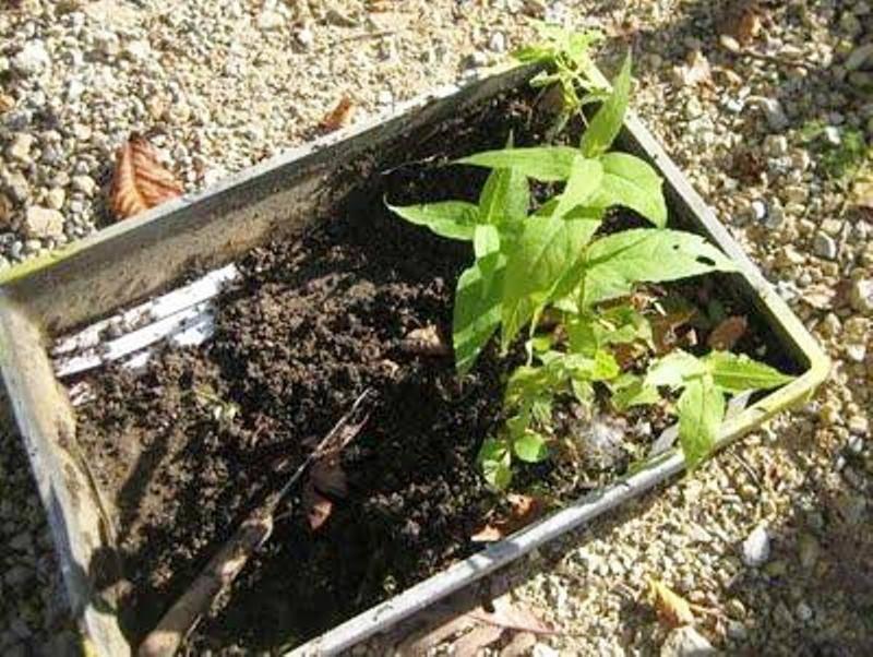 Посадка и выращивание посконника в открытом грунте, уход и размножение черенками
