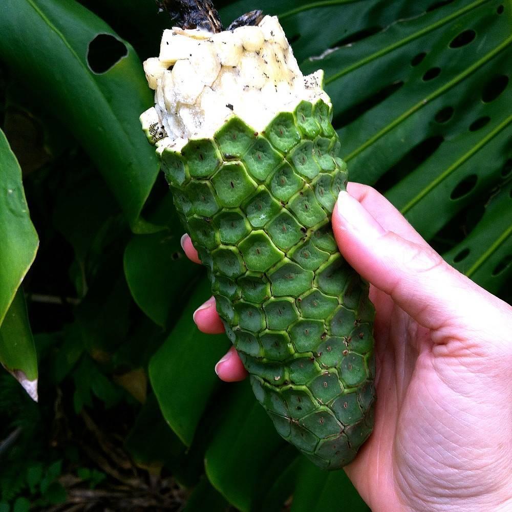 Монстера деликатесная (Deliciosa) — ядовитое растение или нет