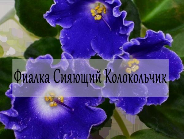 Фиалка изюм — описание и характеристики сорта