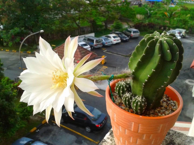 Растение кактус: описание, внешнее строение, признаки приспособленности к среде обитания и другие особенности