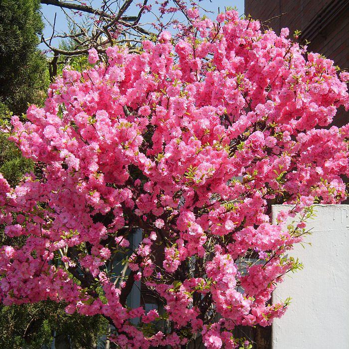 Миндаль кустарник — декоративное цветущее растение - pocvetam.ru