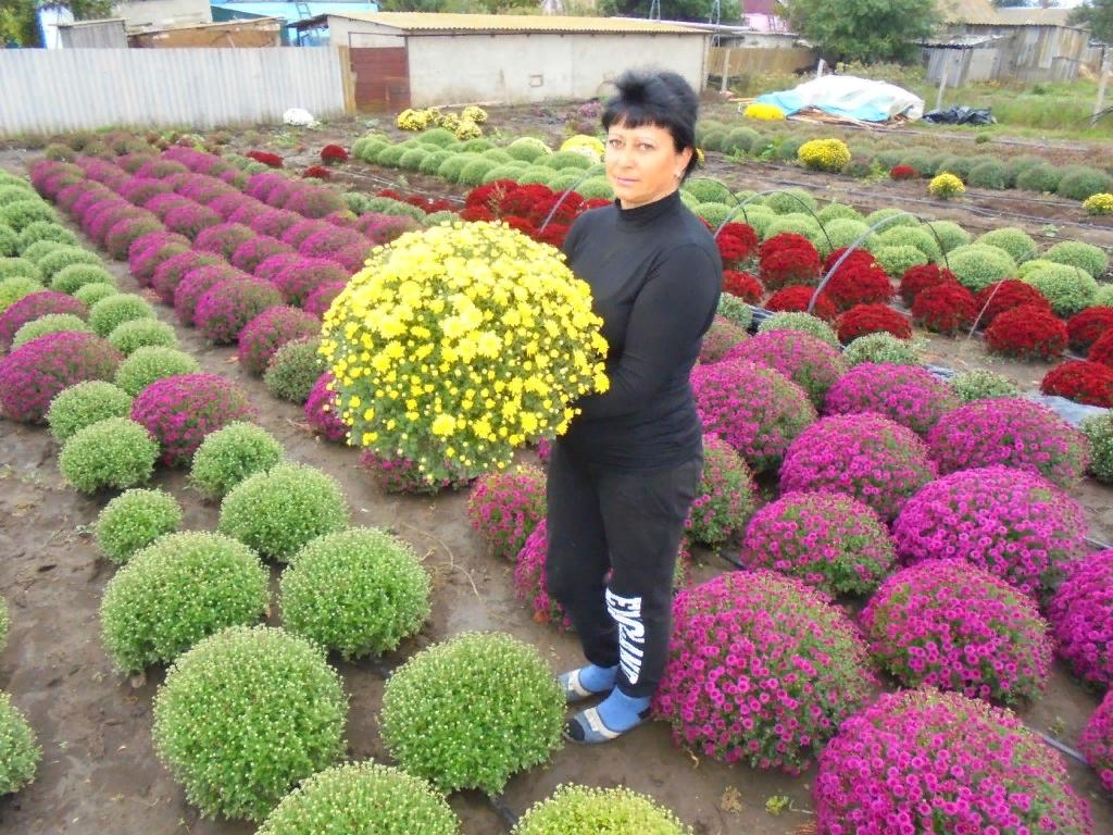 Выращивание хризантем мультифлора. преимущества посадки в горшки рассады хризантемы мультифлора