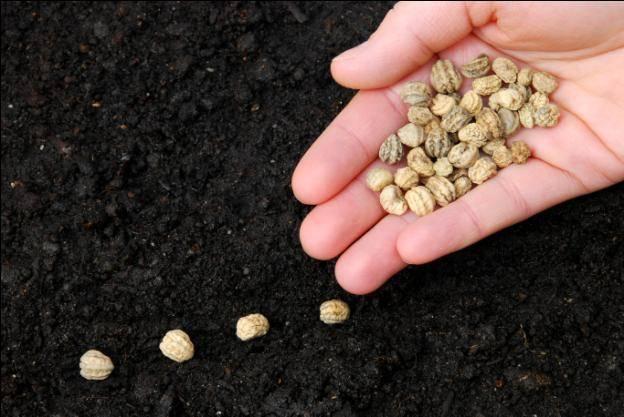 Как и когда сажать семена настурции на рассаду в 2020 году