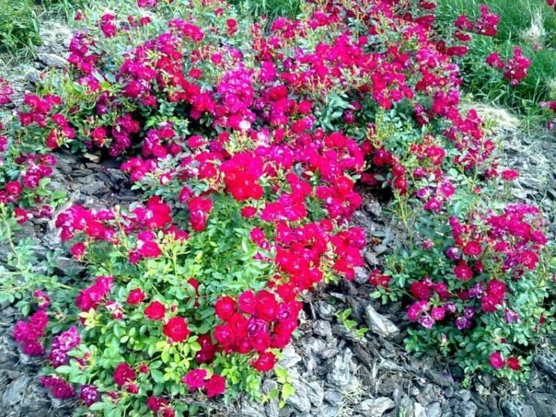 Почвопокровные розы: сорта, фото, цены, уход