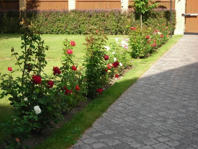 Бордюрные розы — что это такая за разновидность