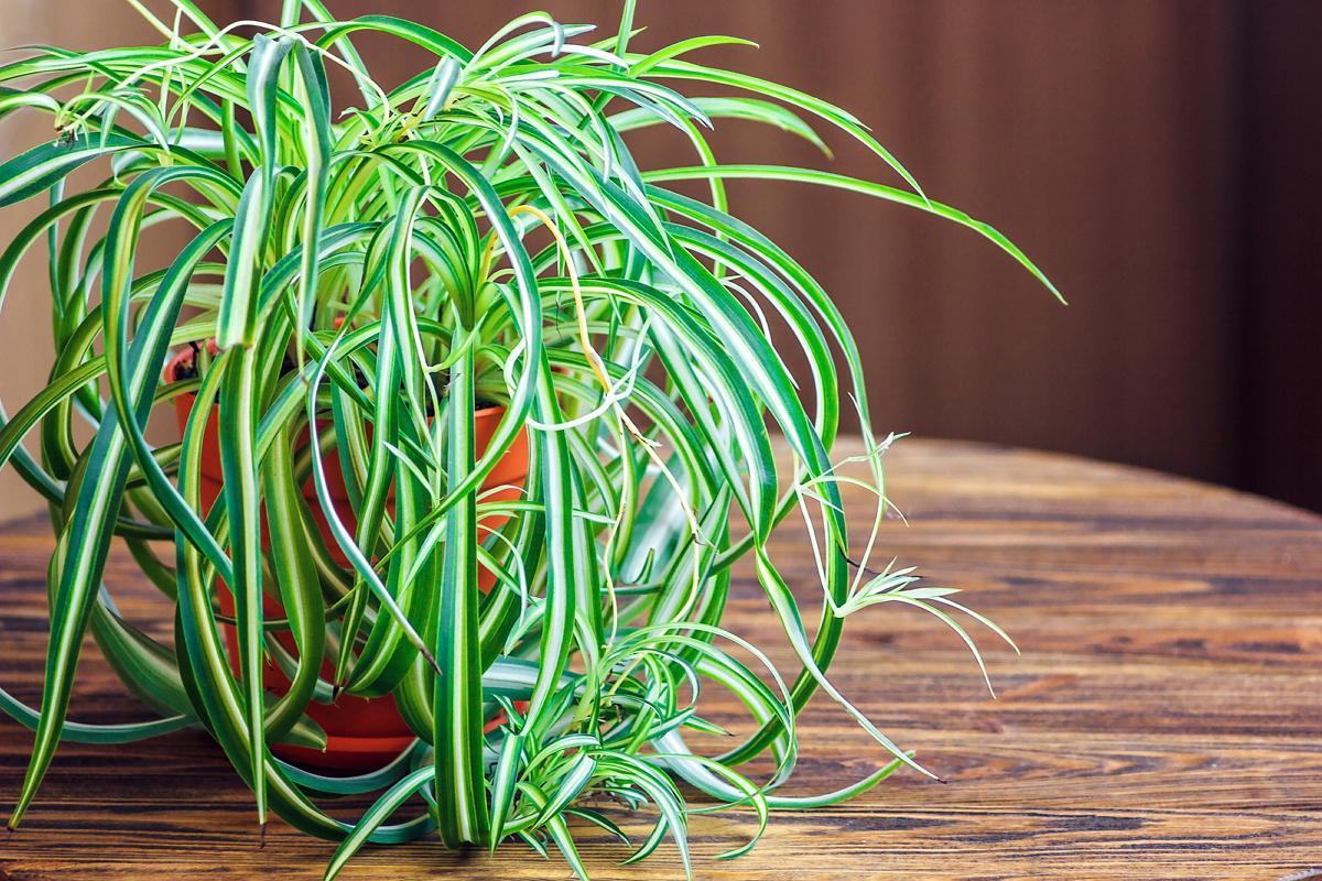Хлорофитум - уход в домашних условиях, размножение, пересадка, почему сохнут кончики листьев