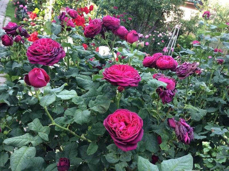 Канадские розы: лучшие морозостойкие сорта, описание, выращивание и уход
