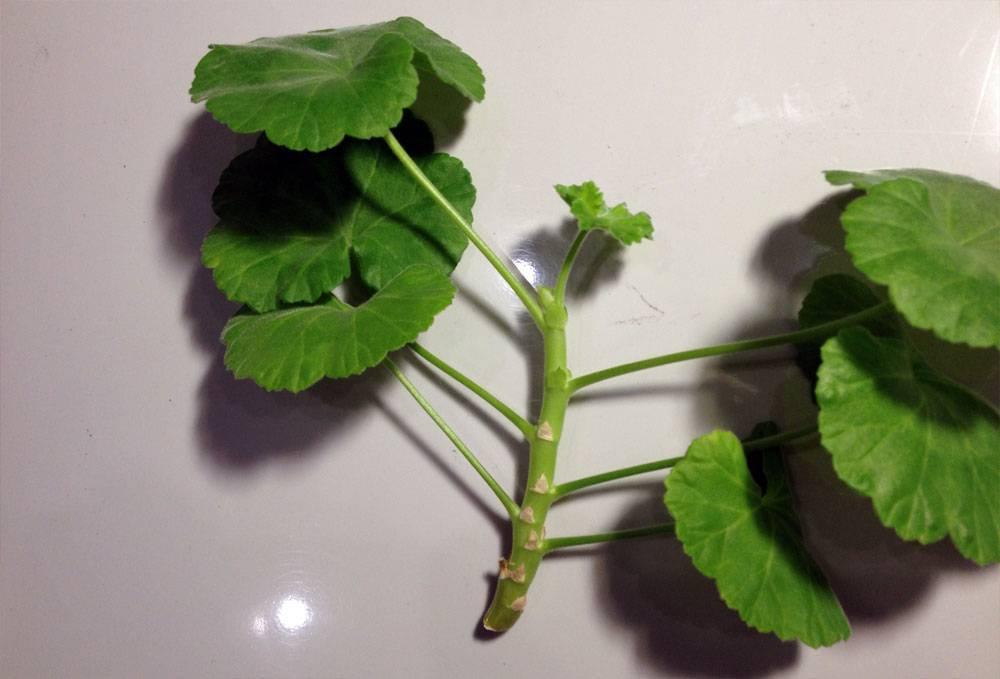 Неприхотливая и живучая: почему размножение герани листом под силу начинающим цветоводам? как провести процедуру?