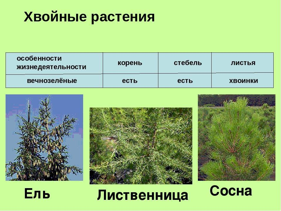 Лиственница - это лиственное или хвойное дерево? особенности и описание