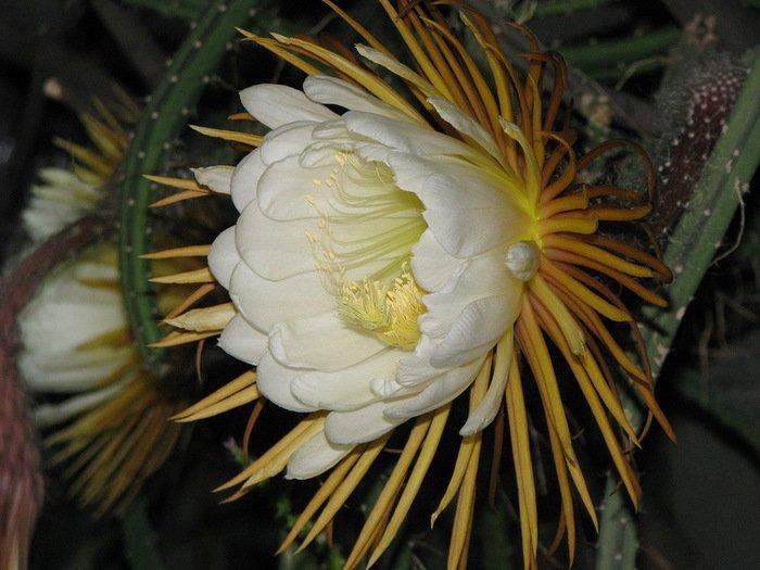 Эпифиллум — лесной кактус с красивыми цветками