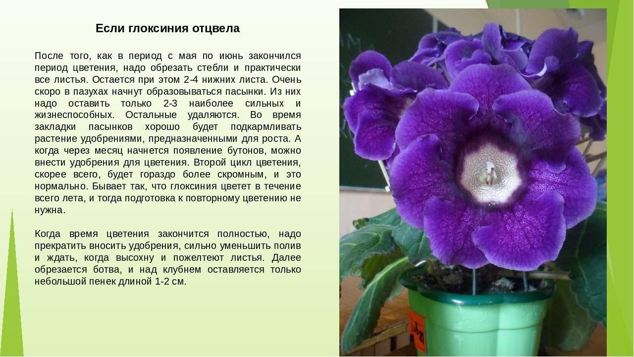 Фиалка — уход в домашних условиях за цветком