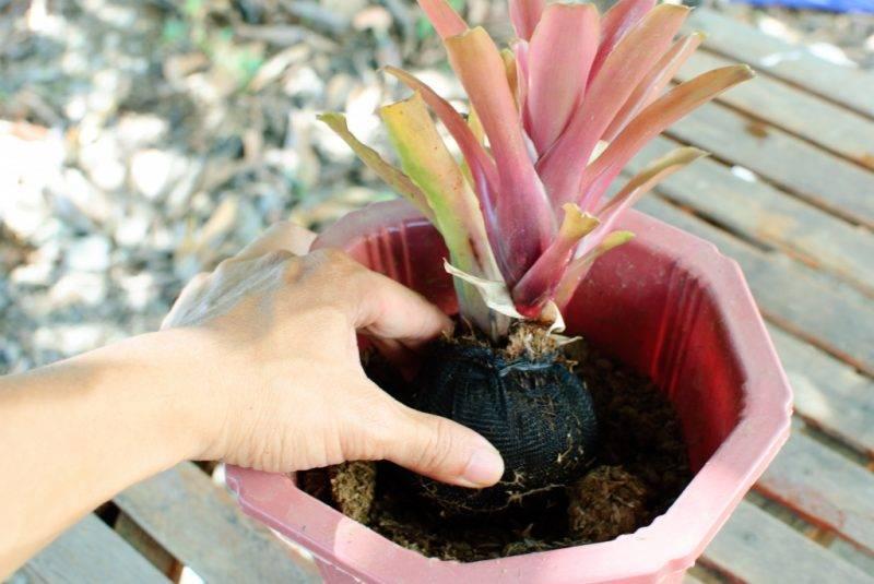 Уход за вриезией дома: сорта спленриет и микс, выращивание в горшке