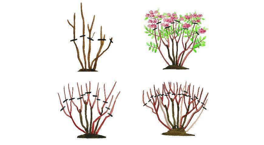 Бугенвиллия выращивание и уход в разных регионах страны