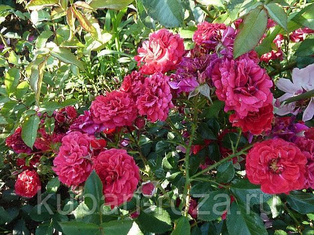 Выращивание и уход за парковыми розами в открытом грунте