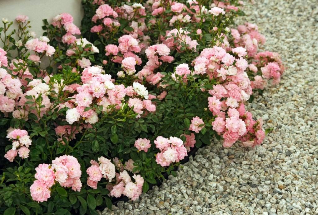 Почвопокровные розы: сорта с описанием и фото - энциклопедия цветов