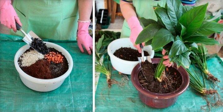 """Уход за спатифиллумом в домашних условиях: как ухаживать за комнатным цветком в горшке, в том числе после покупки, и секрет успеха, фото растения """"женское счастье"""""""