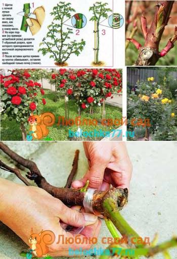 Как привить розу на шиповник летом