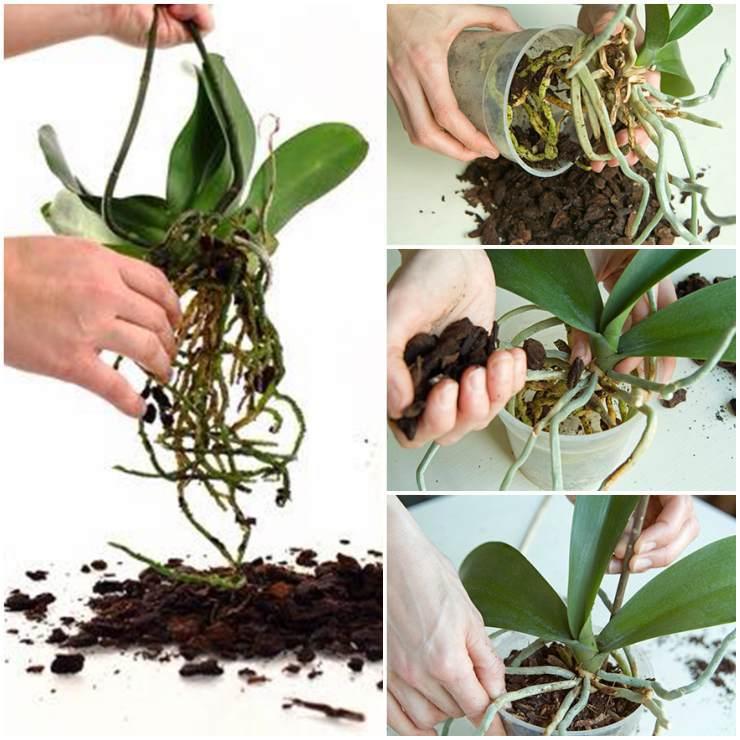 Уход за орхидеей после пересадки: почему листья желтеют и становятся вялыми, что с этим делать, как в домашних условиях помочь растению, и когда оно зацветет?