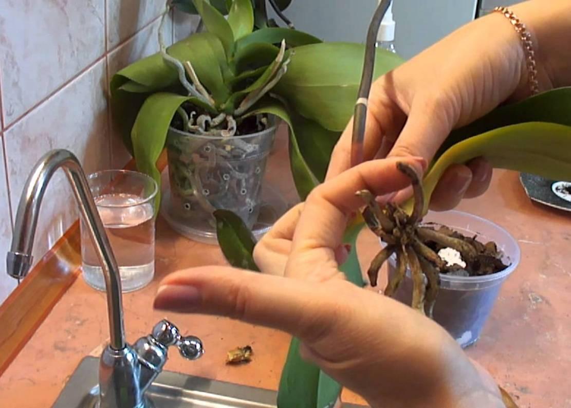 Орхидея камбрия: уход в домашних условиях + фото