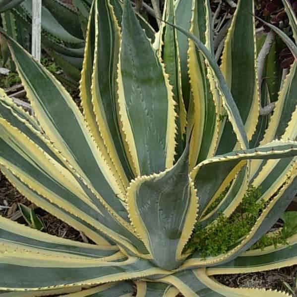 Агава (agave). описание, виды и уход за агавой
