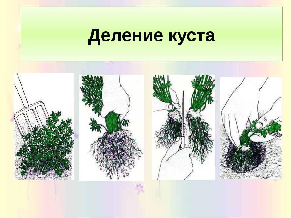 Кустарник барбариса: подготовка, посадка и правильный уход, все способы размножения
