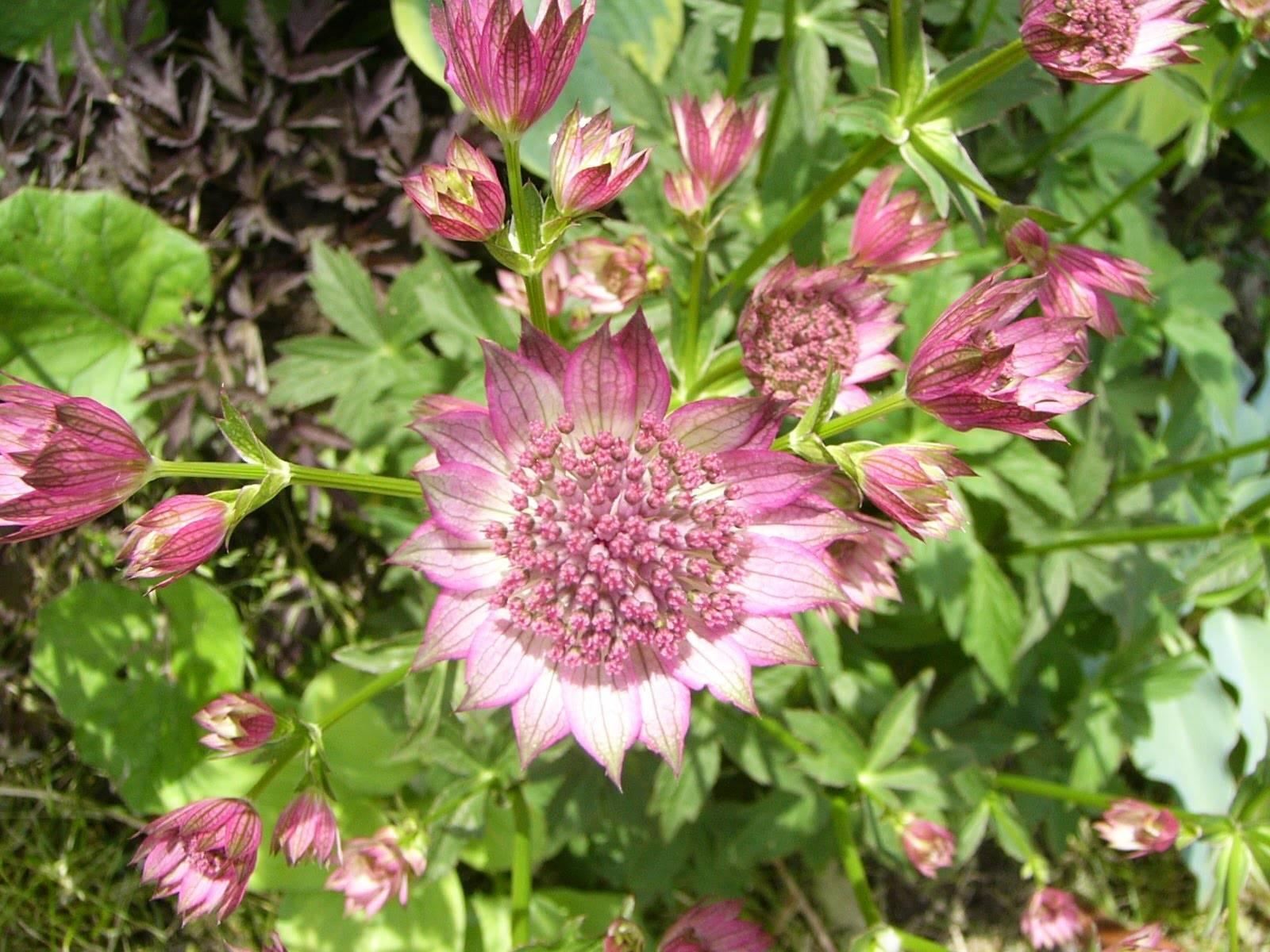 Астранция: виды и сорта, советы по выращиванию